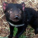 Baby Tasmanian devil by Alexey Dubrovin