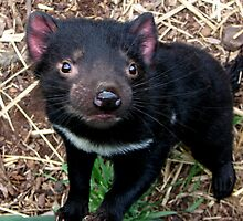 Baby Tasmanian devil by Alexey Dubrovin