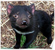 Baby Tasmanian devil Poster