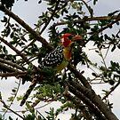 Red and Yellow Barbet ( Trachyphonus erythocephalus) Terengeri NP Tanzania by john  Lenagan