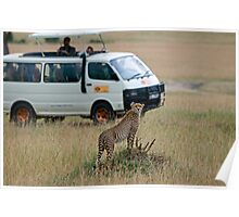 Cheetah disturbed by tourists Poster