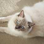 Ragdoll Male Cat by abbei