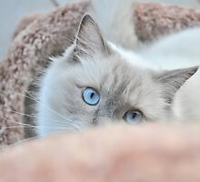 Male Ragdoll Cat Playing by abbei