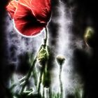 Electric Poppy by Darren Allen