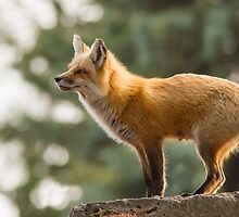 Spring Fox by MIRCEA COSTINA