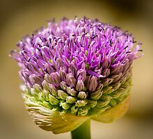 Allium Opening by Ian Marshall