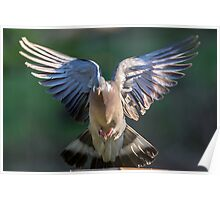 Flapping Pigeon Poster