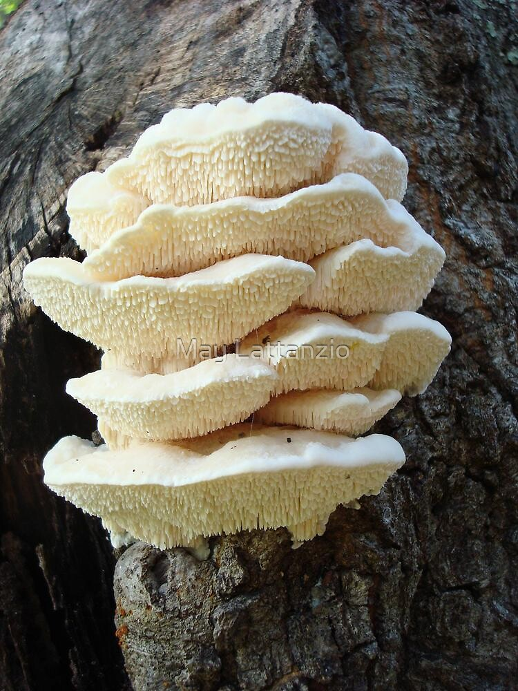 LOOKS LIKE COOKIES - A NEW SHELF FUNGUS FOR ME! by May Lattanzio