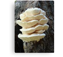 LOOKS LIKE COOKIES - A NEW SHELF FUNGUS FOR ME! Canvas Print