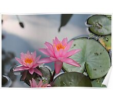 Water lilies, Kenilworth Aquatic Gardens Poster