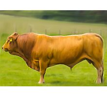 Limousin Bull Photographic Print