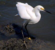 Egret Posing by Bob Wall