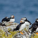 Puffins by Margaret S Sweeny