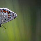 Common Blue by Alex Boros