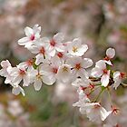 Cherry Blossoms Abound by Patty (Boyte) Van Hoff