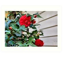 Mom's camellias Art Print