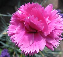 Sweetly Scented - Miniature Pink Carnation by MidnightMelody