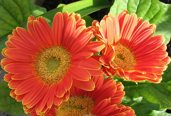Sunkissed Orange Gerbera Daisies by BlueMoonRose
