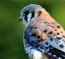 American Kestrel by CcoatesPhotos
