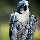 Peregrine Falcon by CcoatesPhotos