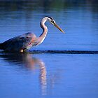 Great Blue Heron 1 by photonista