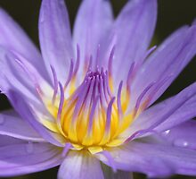 Water lily, Kenilworth Aquatic Gardens by Kelly Morris