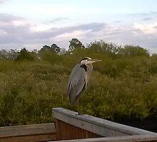 Great Blue Heron at Eagle Point Park, New Port Richey, FL by Ellen Turner