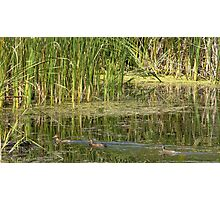 wild ducks Photographic Print