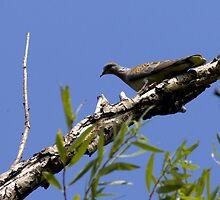 wild dove by slavikostadinov