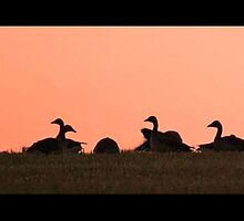 Geese at sunset by Sara-Lee
