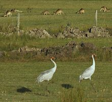 A Bird or two and a Kangaroo by myraj