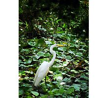 Crane In The Lilies Photographic Print