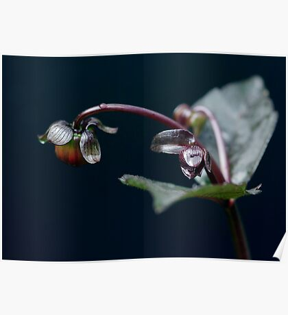 Dew drops on Dahlias Poster
