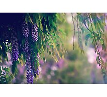 Wisteria in the Rain Photographic Print