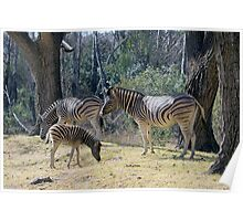 Foal Stripes Poster