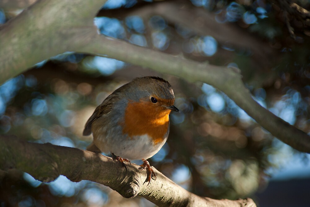 Winter Robin by Kevin Cartwright