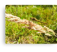 Yellow dragonfly alight on straw Canvas Print