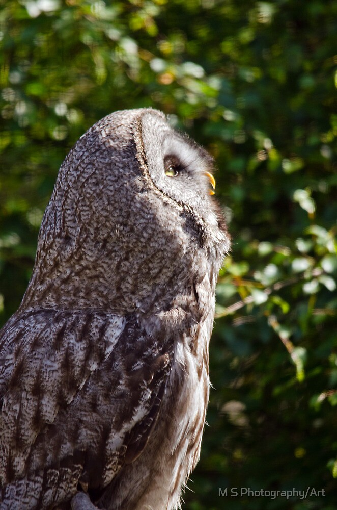 Great Grey Owl by M.S. Photography/Art