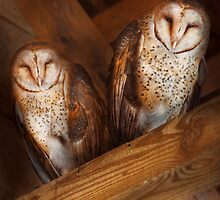 Animal - Bird - A couple of barn owls by Mike  Savad