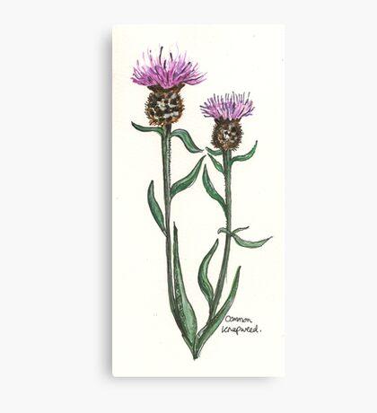 Common knapweed Canvas Print