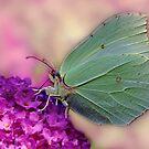 Gonepteryx rhamni by Yool