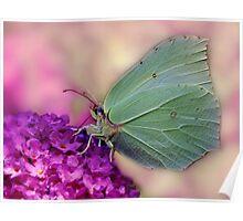 Gonepteryx rhamni Poster
