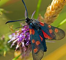 Burnett's Moth by DonMc
