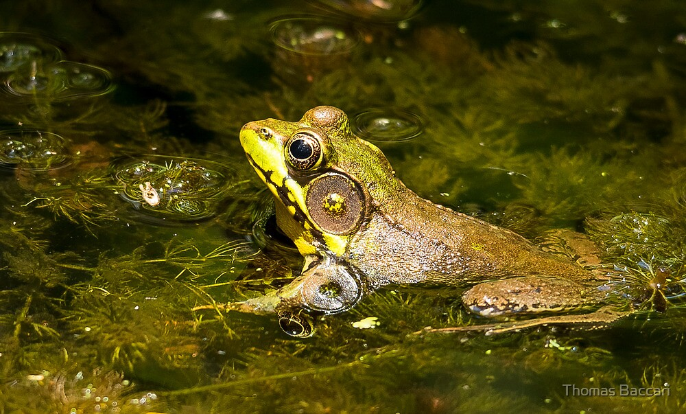 Frog in A Pond by TJ Baccari Photography