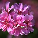 Geranium Pink Wish by Joy Watson