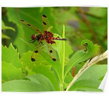 Calico Pennant Dragonfly Poster