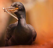 Shag Phalacrocorax Aristotelis by Wayman