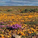 Fields of flowers by Karen01