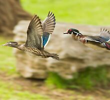 Wood-ducks in flight by MIRCEA COSTINA