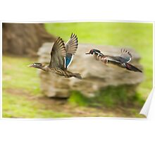 Wood-ducks in flight Poster